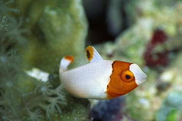 Parrotfish (Scaridae) portrait of juvenile, Solomon Islands  -  Birgitte Wilms