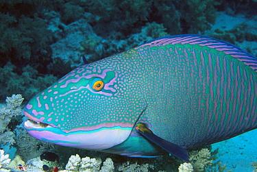 Parrotfish (Scaridae) portrait, Solomon Islands  -  Chris Newbert