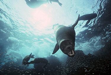 Galapagos Sea Lion (Zalophus wollebaeki) female, Galapagos Islands, Ecuador  -  Chris Newbert