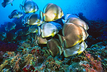 Batfish (Platax sp) schooling, Red Sea, Egypt  -  Chris Newbert