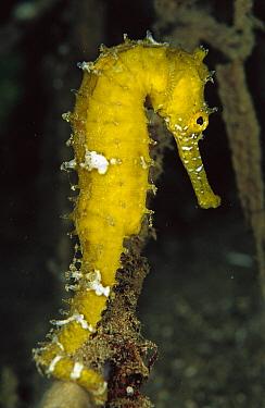Seahorse (Hippocampus sp) portrait, Papua New Guinea  -  Birgitte Wilms