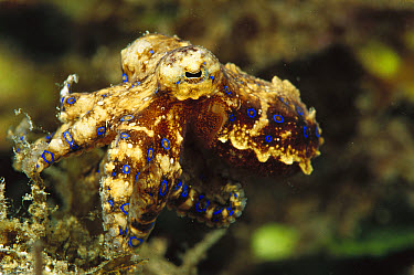 Blue-ringed Octopus (Hapalochlaena sp) only a few inches long and poison is deadly but they are not aggressive, Papua New Guinea  -  Birgitte Wilms