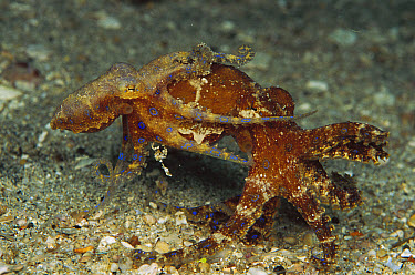 Blue-ringed Octopus (Hapalochlaena sp) male and female mating, note male inserting his reproductive tentacle into the female's siphon, Papua New Guinea  -  Birgitte Wilms