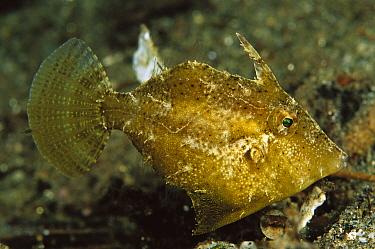 Filefish (Pervagor sp), New Guinea  -  Birgitte Wilms