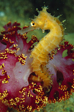 Seahorse (Hippocampus sp) holding on to a Crinoid, Papua, Papua New Guinea  -  Birgitte Wilms
