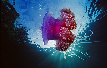 Crown Jellyfish (Netrostoma setouchianum), Papua New Guinea  -  Chris Newbert