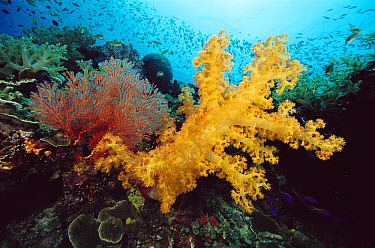 Soft Coral (Dendronephthya sp) Sea Fan (Melithaea sp) and schooling reef fish, Papua New Guinea  -  Chris Newbert