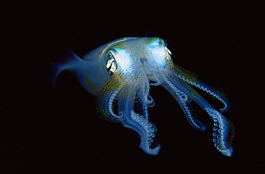 Squid (Sepioteuthis sp) portrait, front view with tentacles extended, Papua New Guinea  -  Chris Newbert