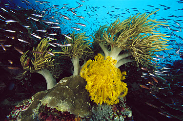 Crinoid (Comantheria sp) Leather Coral (Sarcophyton sp) and schooling fish, Papua New Guinea  -  Chris Newbert