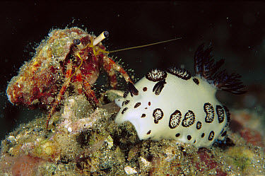 Hermit Crab (Dardanus sp) crawling on a Nudibranch (Jorunna funebris), Papua New Guinea  -  Chris Newbert