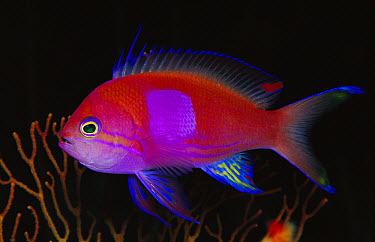 Squarespot Anthias (Pseudanthias pleurotaenia) male, 50 feet deep, Solomon Islands  -  Chris Newbert