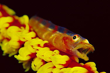 Whip Coral Goby (Bryaninops youngei) on Wire Coral (Cirrphipathes spiralis) 60 feet deep, Solomon Islands  -  Chris Newbert