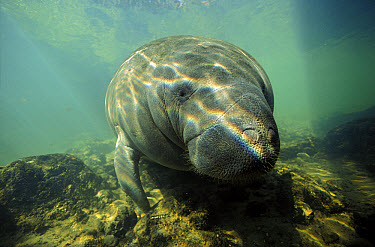West Indian Manatee (Trichechus manatus) portrait, Florida  -  Chris Newbert