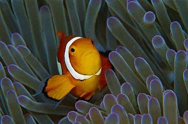 Blackfinned Clownfish (Amphiprion percula) in a Magnificent Sea Anemone (Heteractis magnifica) 40 feet deep, Solomon Islands  -  Chris Newbert