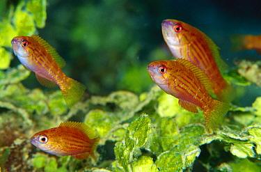 Goby group in Algae (Halimeda macroloba), 90 feet deep, Solomon Islands  -  Chris Newbert