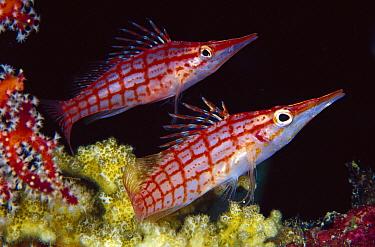 Longnose Hawkfish (Oxycirrhites typus) pair, 60 feet deep, Papua New Guinea  -  Chris Newbert