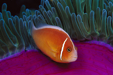 Pink Anemonefish (Amphiprion perideraion) in Magnificent Sea Anemone (Heteractis magnifica) 40 feet deep, Papua New Guinea  -  Chris Newbert