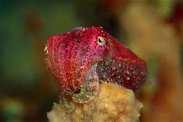 Cuttlefish (Sepia sp) holding on to a Sponge, 50 feet deep, Papua New Guinea  -  Chris Newbert