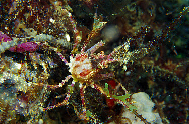 Hairy Sponge Crab (Dromidia antillensis) 40 feet deep, Papua New Guinea  -  Chris Newbert