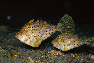Filefish (Pseudomonacanthus sp) pair, 100 feet deep, Papua New Guinea  -  Chris Newbert