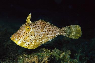 Filefish (Pseudomonacanthus sp) 100 feet deep, Papua New Guinea  -  Chris Newbert