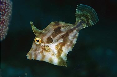 Filefish (Pseudomonacanthus sp) 50 feet deep, Papua New Guinea  -  Chris Newbert