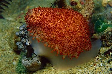 Pink-mouth Egg Shell (Ovula costellata) 50 feet deep, Papua New Guinea  -  Chris Newbert