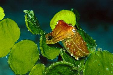 Cuttlefish (Sepia sp) clinging to Algae (Halimeda macroloba) 50 feet deep, Papua New Guinea  -  Chris Newbert