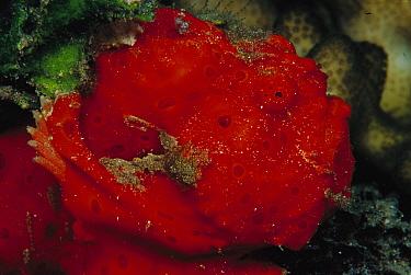 Frogfish (Antennarius sp) 80 feet deep, Papua New Guinea  -  Chris Newbert