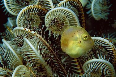 Filefish (Monacanthidae) juvenile in Feather Star, 60 feet deep, Papua New Guinea  -  Chris Newbert