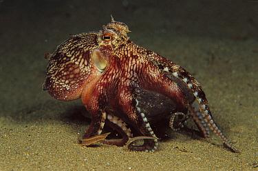 Octopus (Octopus sp) galloping across the bottom five feet deep, Papua New Guinea  -  Chris Newbert