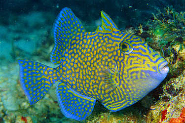Blue Triggerfish (Pseudobalistes fuscus) 60 feet deep, Papua New Guinea  -  Chris Newbert