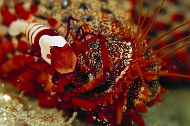 Cortez Starfish (Pentaceraster cumingi) arm with Shrimp, 80 feet deep, Papua New Guinea  -  Chris Newbert