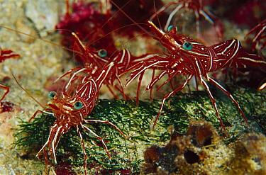 Hingebeak Shrimp (Rhynchocinetes durbanensis) 30 feet deep, Papua New Guinea  -  Chris Newbert