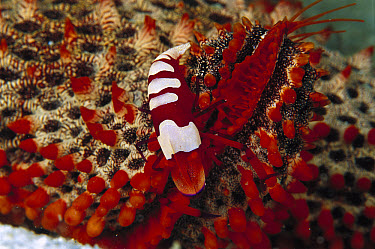 Cortez Starfish (Pentaceraster cumingi) arm with Shrimp, 80 feet deep, Papua New Guinea  -  Chris Newbert