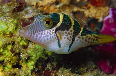 Mimic Filefish (Paraluteres prionurus) 50 feet deep, Papua New Guinea  -  Chris Newbert