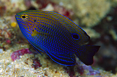Princess Damsel (Pomacentrus vaiuli) 40 feet deep, Papua New Guinea  -  Chris Newbert