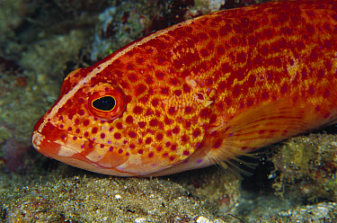Coral Grouper (Cephalopholis miniata) the white stripe tells that it is almost fully grown, the stripe will disappear when it reaches maturity, 50 feet deep, Papua New Guinea  -  Chris Newbert