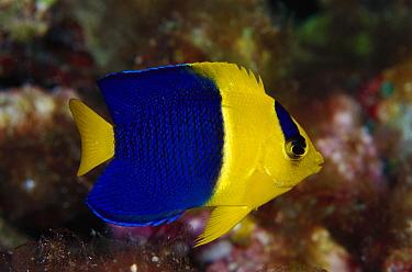 Blue and Gold Angelfish (Centropyge bicolor) 40 feet deep, Papua New Guinea  -  Chris Newbert