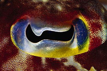 Cuttlefish (Sepia sp) eye detail, Papua New Guinea  -  Chris Newbert