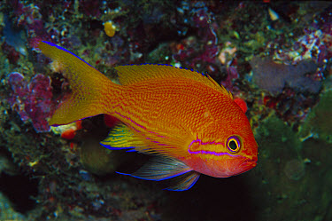 Squarespot Anthias (Pseudanthias pleurotaenia) female 50 feet deep, Papua New Guinea  -  Chris Newbert