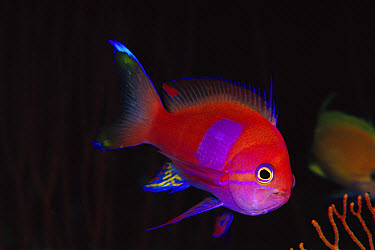 Male Squarespot Anthias (Pseudanthias pleurotaenia) 50 feet deep, Papua New Guinea  -  Chris Newbert