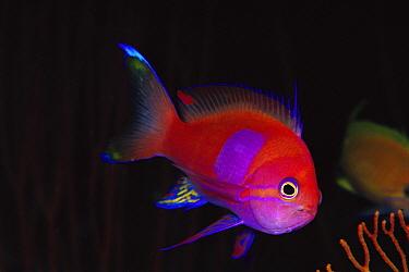 Male Squarespot Anthias (Pseudanthias pleurotaenia) 50 feet deep, Papua New Guinea  -  Chris Newbert