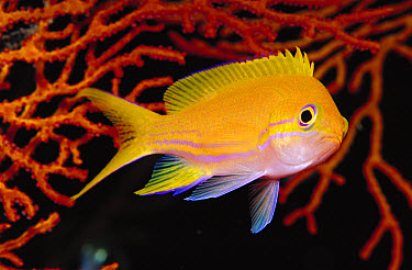 Squarespot Anthias (Pseudanthias pleurotaenia) female 50 feet deep, Papua New Guinea  -  Chris Newbert