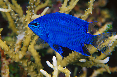 Springer's Damsel (Chrysiptera springeri) 40 feet deep, Papua New Guinea  -  Chris Newbert