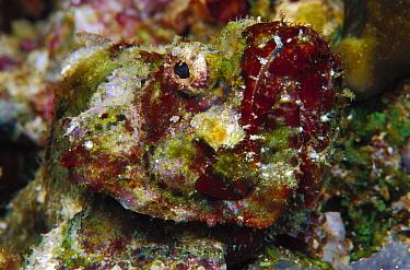 Devil Scorpionfish (Scorpaenopsis diabolus) 40 feet deep, Papua New Guinea  -  Chris Newbert