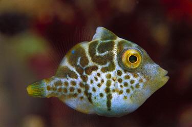 Filefish (Pseudomonacanthus sp) juvenile 30 feet deep, Papua New Guinea  -  Chris Newbert