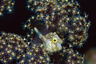 Filefish (Pervagor sp) juvenile seeking protection in Soft Coral (Dendronephthya sp) 30 feet deep, Papua New Guinea  -  Chris Newbert