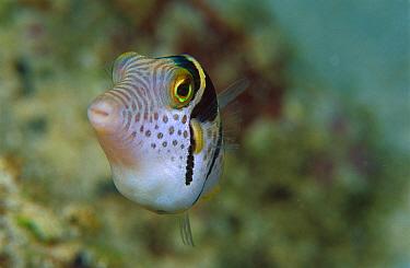 Mimic Filefish (Paraluteres prionurus) 30 feet deep, Papua New Guinea  -  Chris Newbert