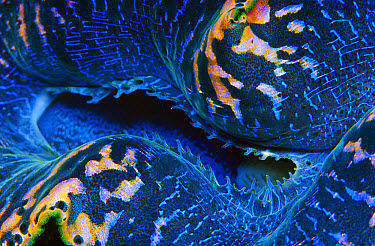 Giant Clam (Tridacna gigas) mantle detail, 40 feet deep, Papua New Guinea  -  Chris Newbert